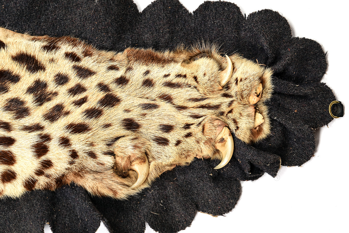 A VINTAGE FULL RUG-MOUNT OF AN INDIAN LEOPARD, lined with beige canvas and black baize. - Image 4 of 5