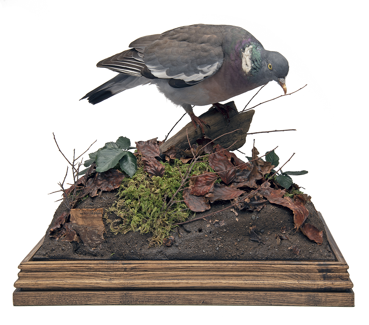 A FINE FULL-MOUNT OF A WOOD PIGEON, set in its natural habitat with two spent .410 cartridges and