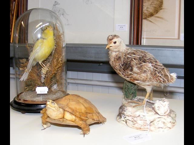 A 19th century taxidermy yellow canary under glass
