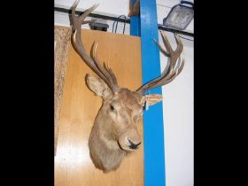 A stuffed and mounted Stag's head - 100cm