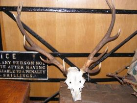 Old antlers - unmounted