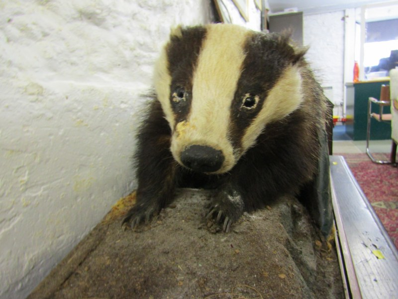 """TAXIDERMY, mounted display of Badger, 33"""" stand width - Image 2 of 3"""