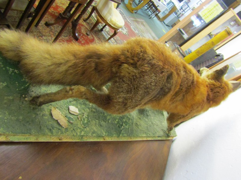 """TAXIDERMY, mounted display of Fox, 44"""" length - Image 4 of 4"""