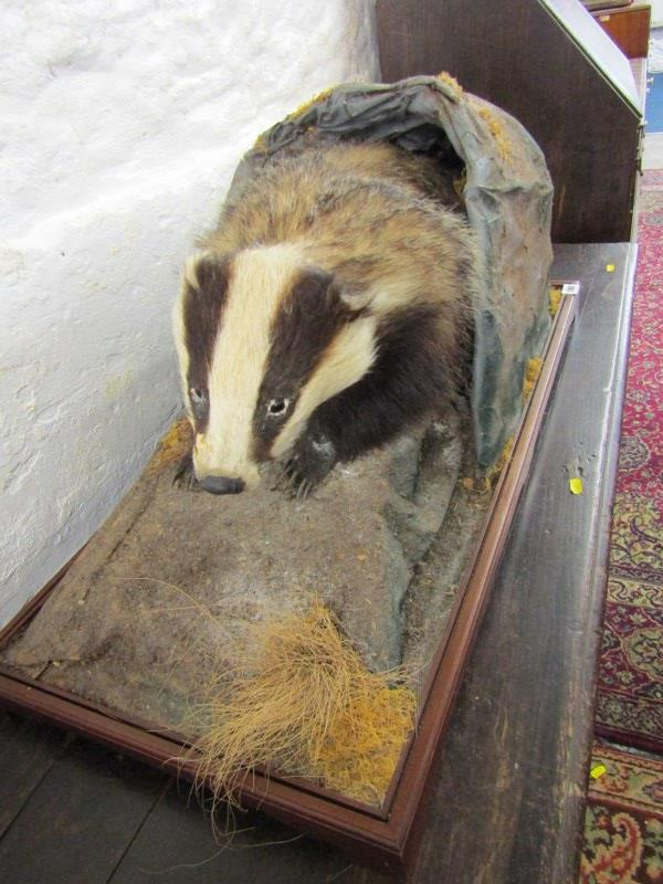 """TAXIDERMY, mounted display of Badger, 33"""" stand width"""