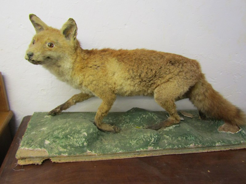 """TAXIDERMY, mounted display of Fox, 44"""" length"""