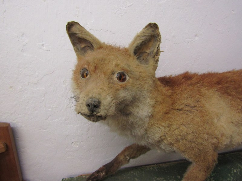 """TAXIDERMY, mounted display of Fox, 44"""" length - Image 2 of 4"""