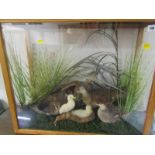 "TAXIDERMY, cabinet case display ""Family of Ducks"", 25"" height 30"" width"