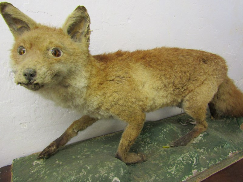 """TAXIDERMY, mounted display of Fox, 44"""" length - Image 3 of 4"""