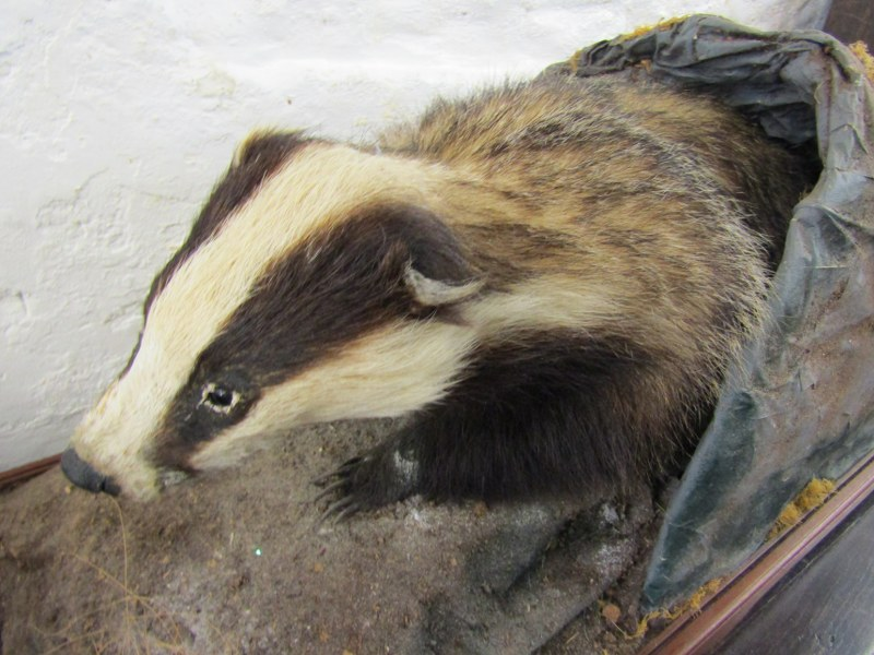 """TAXIDERMY, mounted display of Badger, 33"""" stand width - Image 3 of 3"""