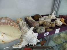 A SMALL QUANTITY OF VINTAGE LARGE SEA SHELLS.