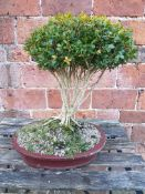 ENGLISH BOX BONSAI IN BROOM STYLE. 10 YEARS OLD. W. 31 x D. 24 x H. 42cms.