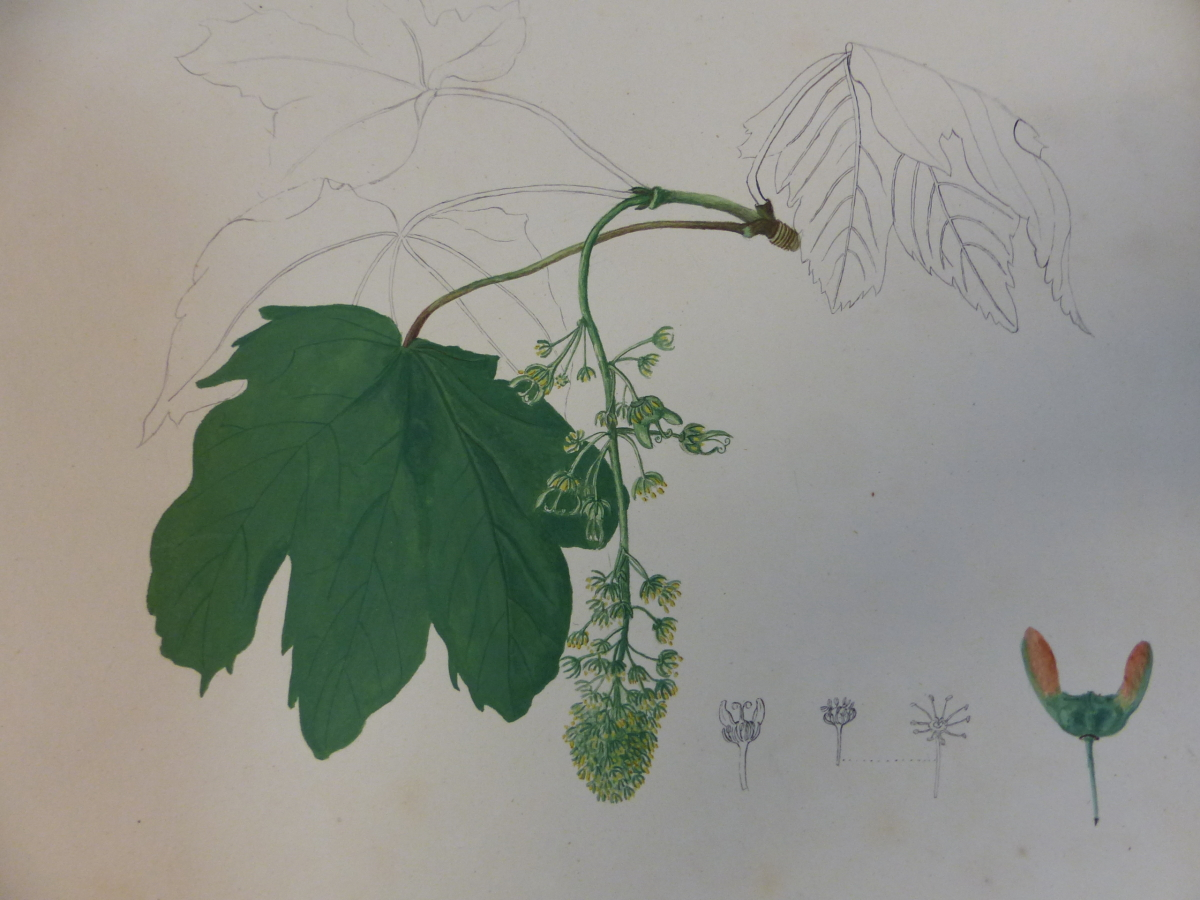 A 19th C. ALBUM OF NINETEEN BOTANICAL WATERCOLOURS - Image 14 of 15
