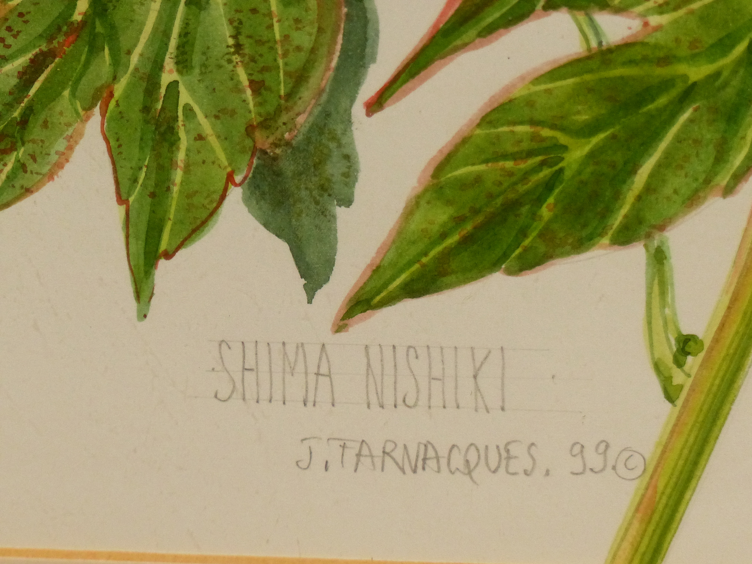 •J. FARVACQUES (20th CENTURY SCHOOL). ARR. THREE BOTANICAL STUDIES, BOTH SIGNED WATERCOLOURS. 36 x - Image 3 of 6