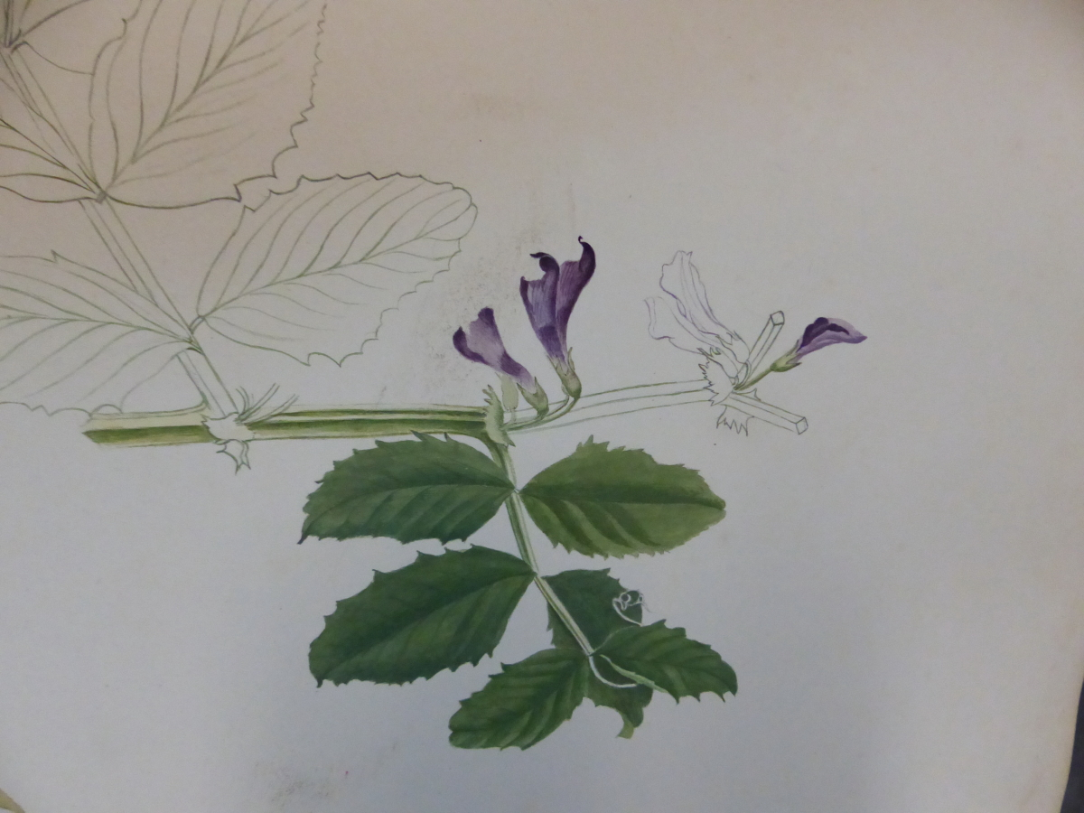 A 19th C. ALBUM OF NINETEEN BOTANICAL WATERCOLOURS - Image 8 of 15