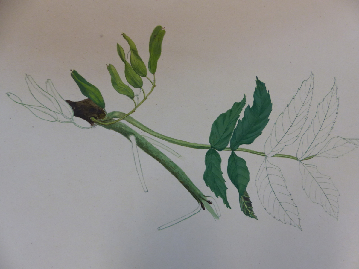 A 19th C. ALBUM OF NINETEEN BOTANICAL WATERCOLOURS - Image 15 of 15