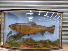A 1926 BROWN TROUT PRESERVED IN A CASE GLAZED WITH A BOW FRONT
