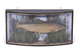 Late 19th/early 20th century taxidermy of a rainbow trout in bow fronted case with gilt edged