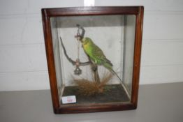 STUFFED BUDGERIGAR IN SMALL WOODEN CASE
