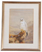Follower of A Thorburn, A Gyrfalcon perched after hunting, watercolour, bears signature of Archibald