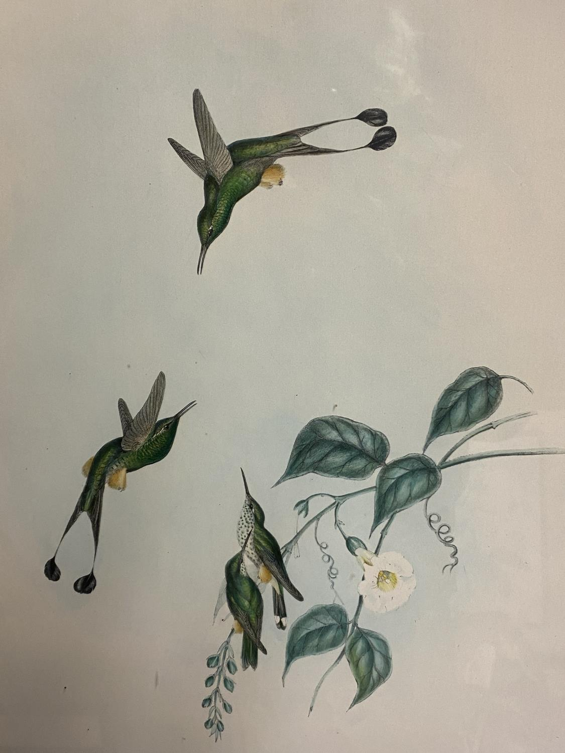 Set of 5 framed and glazed large coloured prints of Humming Birds (condition, some foxing), and - Image 6 of 7