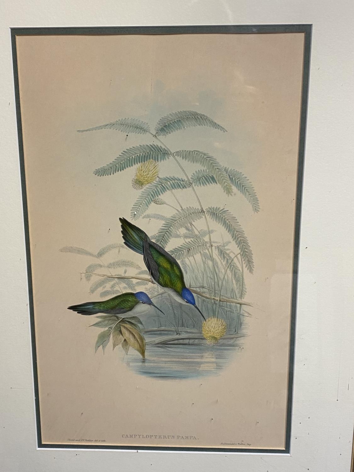 Set of 5 framed and glazed large coloured prints of Humming Birds (condition, some foxing), and - Image 4 of 7
