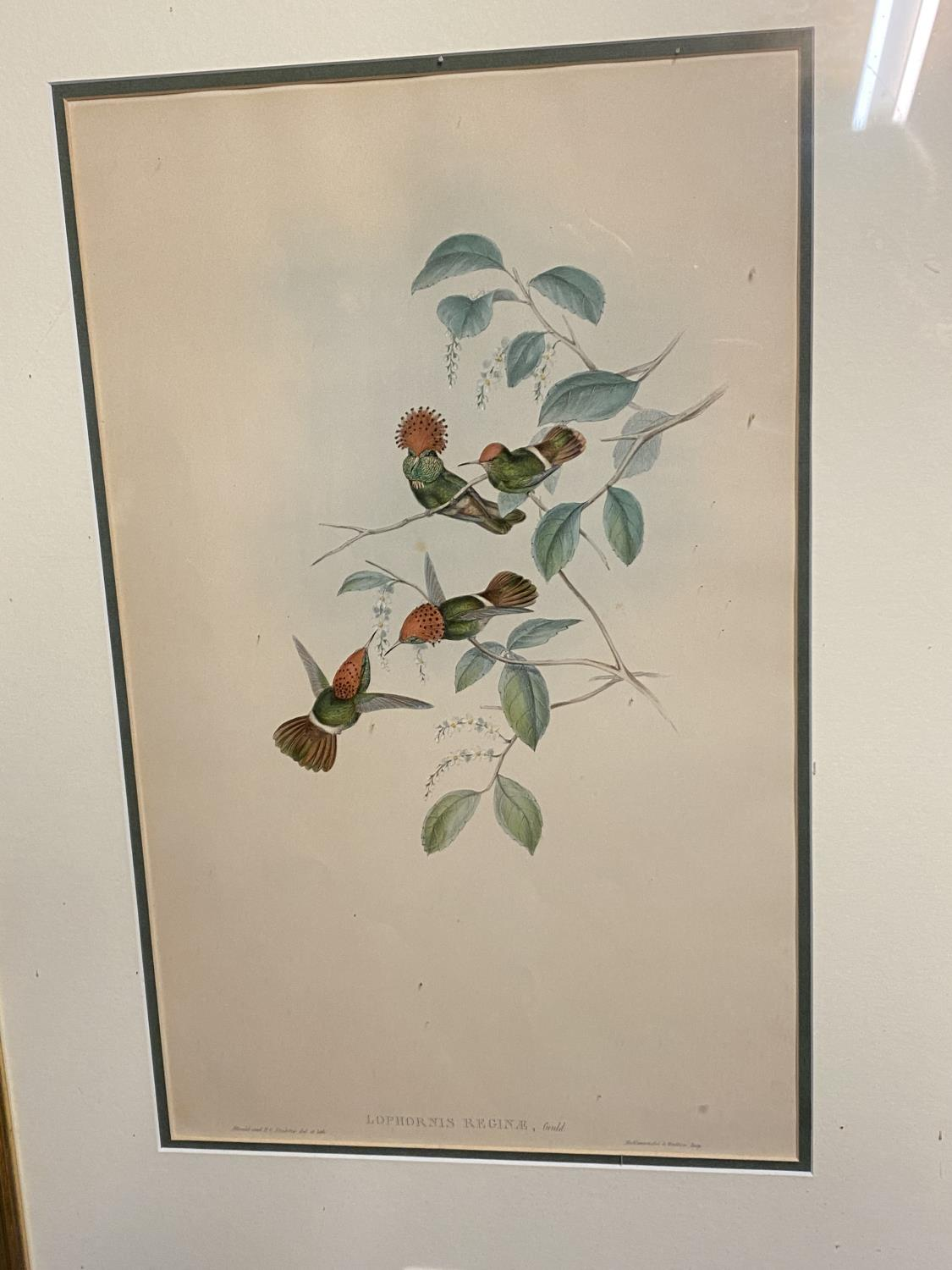 Set of 5 framed and glazed large coloured prints of Humming Birds (condition, some foxing), and - Image 2 of 7