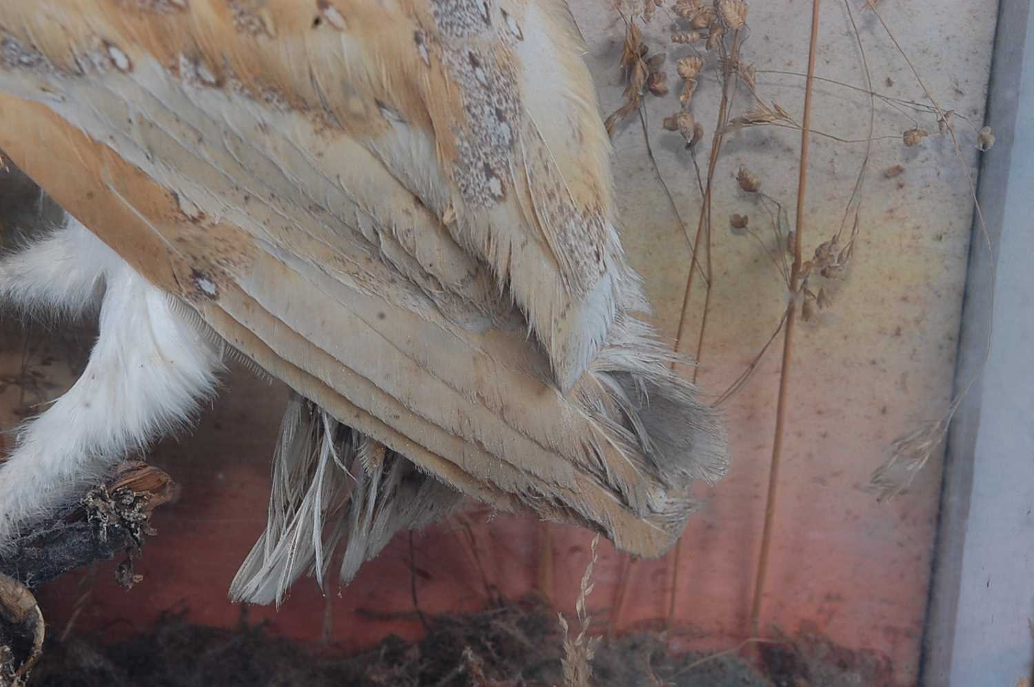A brace of early 20th century taxidermy Barn owls (Tyto alba), each mounted facing the other in a - Image 7 of 9