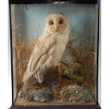 An early 20th century taxidermy Barn Owl (Tyto alba), mounted on a branch in a naturalistic
