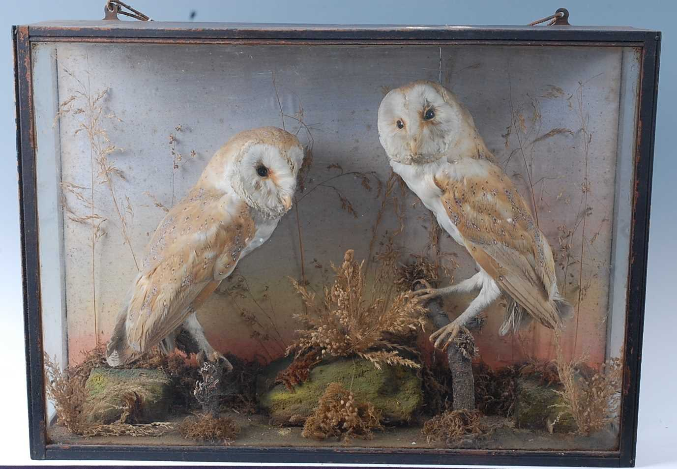 A brace of early 20th century taxidermy Barn owls (Tyto alba), each mounted facing the other in a