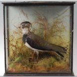 An early 20th century taxidermy Lapwing (Vanellus vanellus), mounted in a naturalistic setting