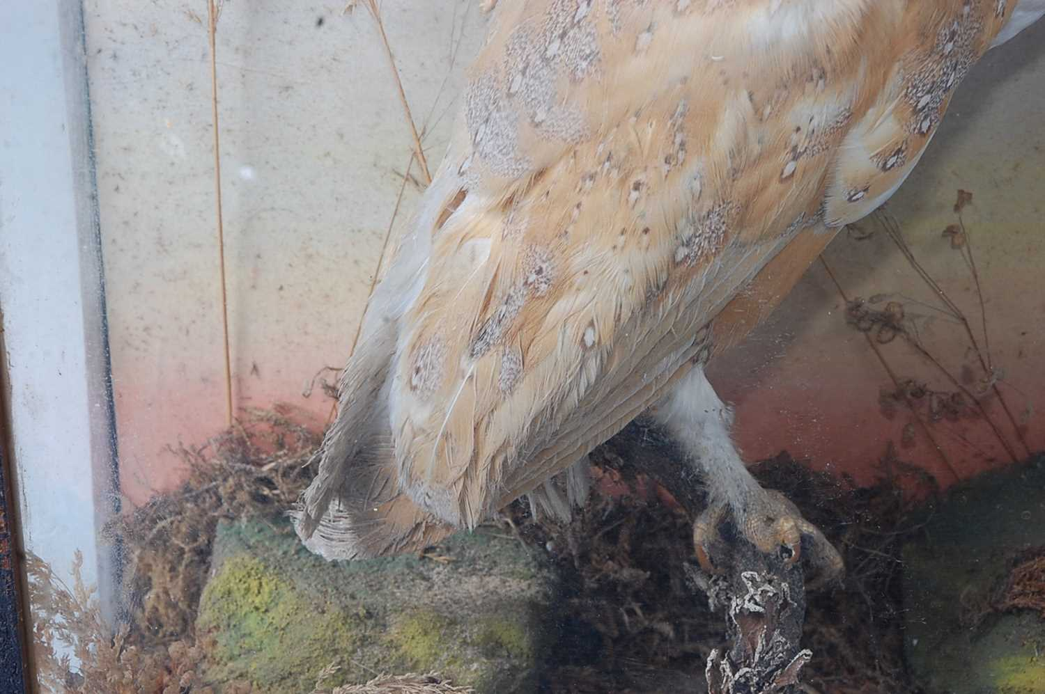 A brace of early 20th century taxidermy Barn owls (Tyto alba), each mounted facing the other in a - Image 6 of 9