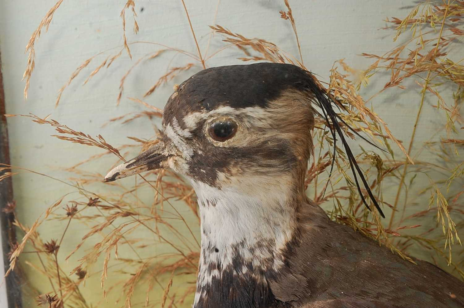 An early 20th century taxidermy Lapwing (Vanellus vanellus), mounted in a naturalistic setting - Image 2 of 4