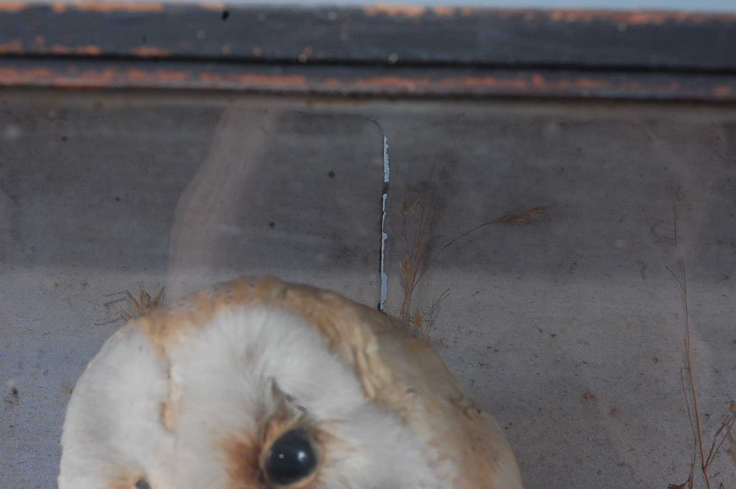 A brace of early 20th century taxidermy Barn owls (Tyto alba), each mounted facing the other in a - Image 2 of 9