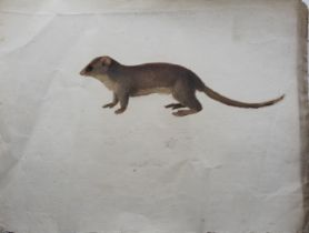 COMPANY SCHOOL, 19th CENTURY STUDY OF A RODENT, POSSIBLY MELOMYS CRISTATUS Gouache and pencil,
