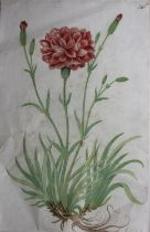 COMPANY SCHOOL, 19th CENTURY CARNATION (DIANTHUS CARYOPHYLLUS) Paginated 106 in ink upper right,