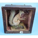Antique taxidermy red squirrel