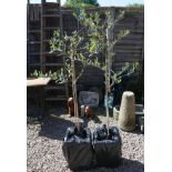 2 olive trees