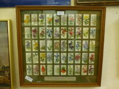 A framed and glazed cigarette card collection 'Old English Garden Flowers' first published 1913