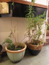 Two glazed garden pots containing green and purple plants