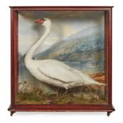 CASED TAXIDERMY DIORAMA, THE TAYMOUTH CASTLE SWAN 19TH CENTURY