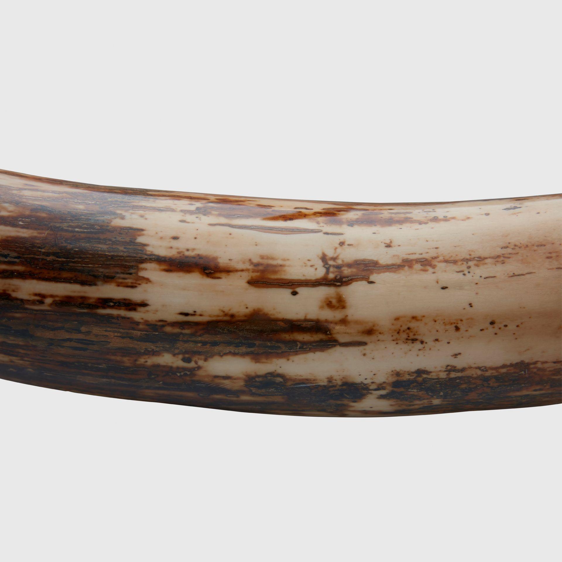 LARGE WOOLLY MAMMOTH TUSK, MAMMUTHUS PRIMIGENIUS SIBERIA, PLEISTOCENE C. 80,000 - 10,000 YEARS B.P. - Image 3 of 5