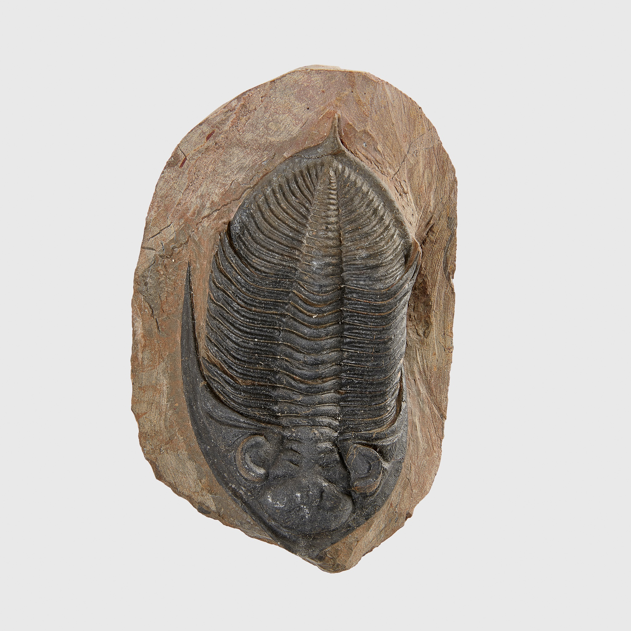 TRILOBITE FOSSIL, ODONTOCHILE SP, MOROCCO, DEVONIAN PERIOD, 400 MILLION YEARS B.P. - Image 2 of 2