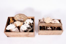 A COLLECTION OF SEA SHELLS to include conches At present, there is no condition report prepared