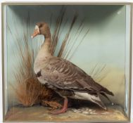 A PRESERVED TAXIDERMIC GREY LAG GOOSE in a glazed case and within a naturalistic setting, the case