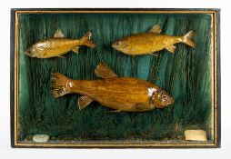 AN EDWARDIAN CASED GROUP OF PRESERVED FISH consisting of two Dace and a Tench, in a three glass