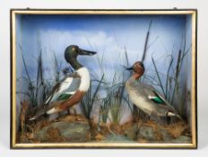 A LATE 19TH CENTURY TAXIDERMIC SHOVELER DUCK and a further duck in a glazed and ebonised case,
