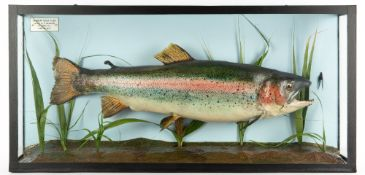 A TAXIDERMIC RAINBOW TROUT caught by D.Chisholm at Lynch Hill June 8th 1972, 71cm wide x 14cm deep x