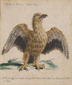 SAVIERE MANETTI Aquila di Nido, plate 6; and Sparviere med da colombi con penna mutata, plate 22