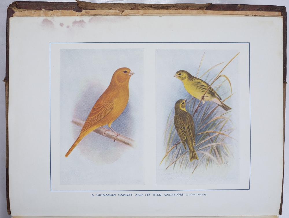 ROBSON, John and LEWER S.H. Ed. Canaries, Hybrids and British Birds in Cage and Aviary'. 26 coloured - Image 2 of 3