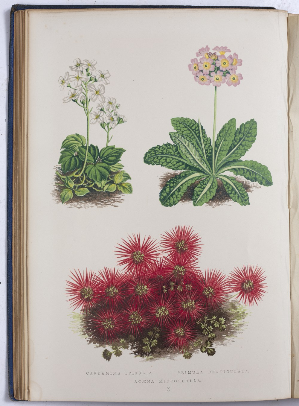 WOOSTER, David, 'Alpine Plants'. Bell and Daldy, Covent Garden, London 1882. Multiple coloured - Image 3 of 4